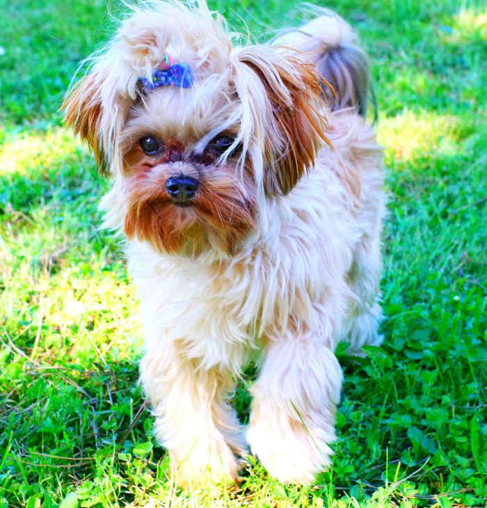 Yorkshire Terrier Charlie - Zobel