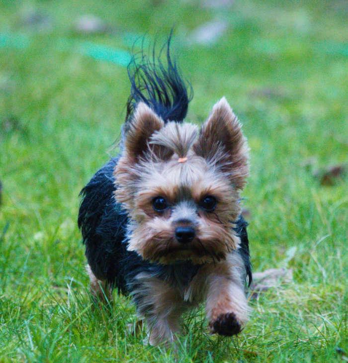 Yorkshire Terrier Ronja