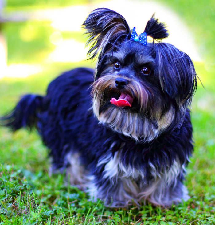 Yorkshire Terrier Sammy