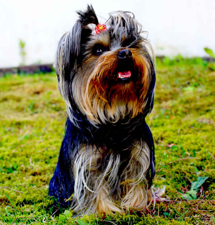 Yorkshire Terrier Sissi